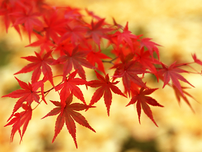 red-maple-leaves-wall-inkbluesky